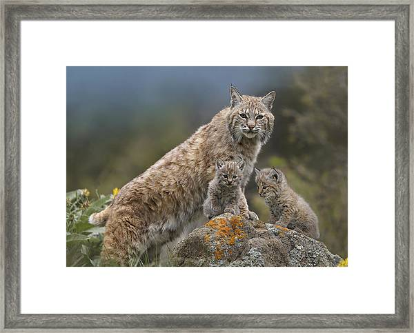 Bobcat Mother And Kittens North America Framed Print