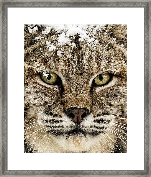 Bobcat Whiskers Framed Print