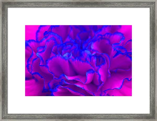 Bold Fuschia Pink And Blue Carnation Flower Framed Print