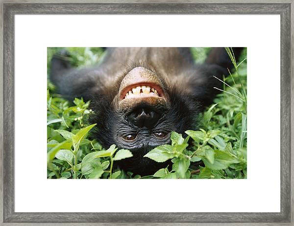 Bonobo Smiling Framed Print