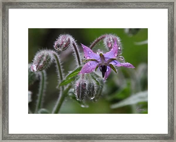 Borage Umbrella Framed Print