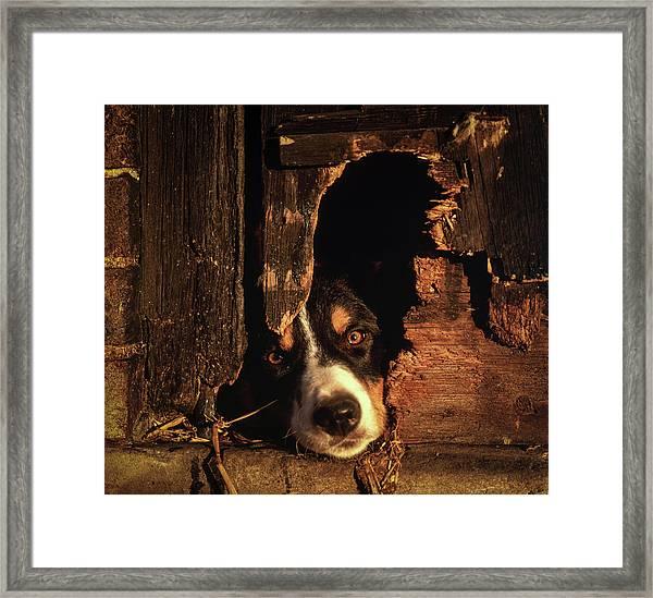 Border Collie Sheep Dog Framed Print
