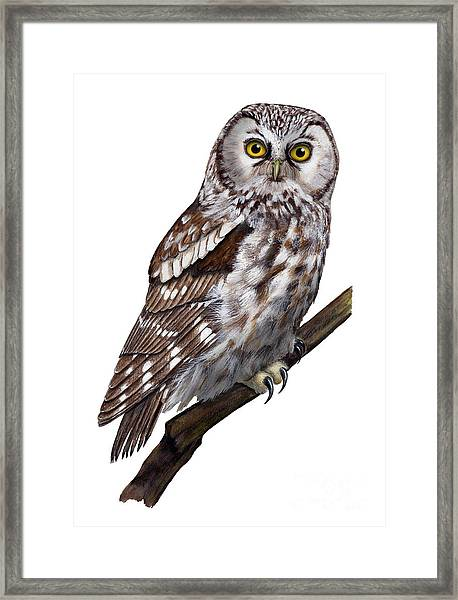 Boreal Owl Tengmalm's Owl Aegolius Funereus - Nyctale De Tengmalm - Paerluggla - Nationalpark Eifel Framed Print