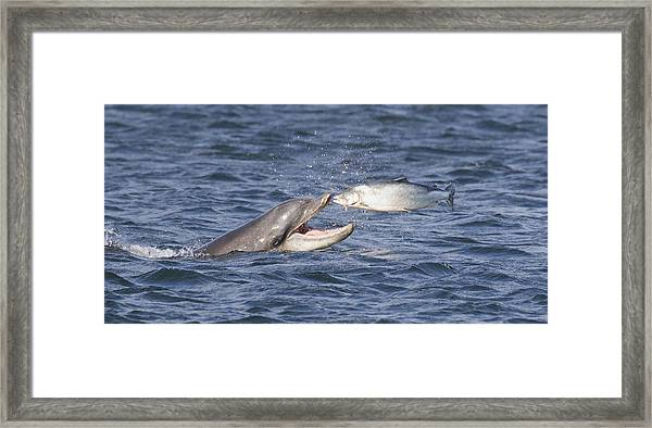 Bottlenose Dolphin Eating Salmon - Scotland  #36 Framed Print