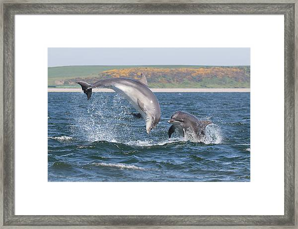 Bottlenose Dolphin - Moray Firth Scotland #49 Framed Print