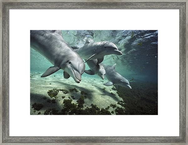 Four Bottlenose Dolphins Hawaii Framed Print
