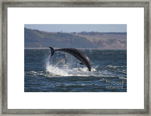Bottlenose Dolphins - Scotland  #25 Framed Print