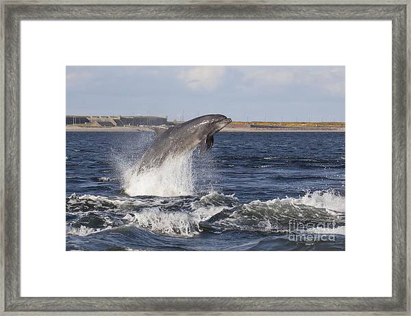 Bottlenose Dolphin - Scotland  #26 Framed Print