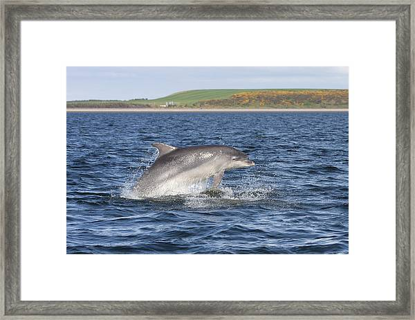 Bottlenose Dolphin - Scotland  #32 Framed Print