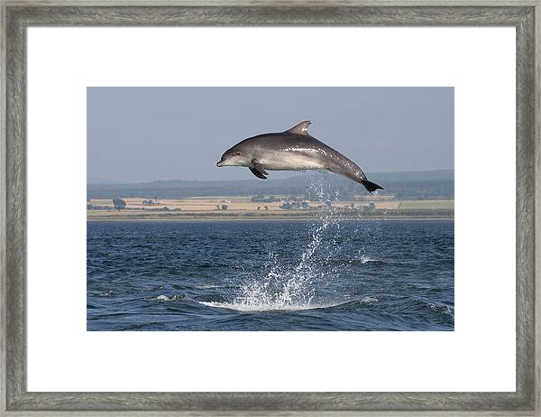 High Jump - Bottlenose Dolphin  - Scotland #42 Framed Print