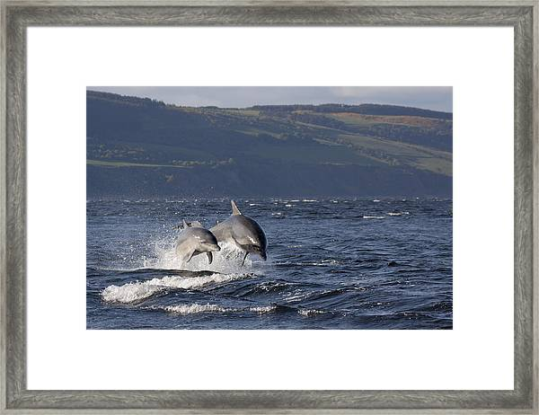 Bottlenose Dolphins Leaping - Scotland  #37 Framed Print
