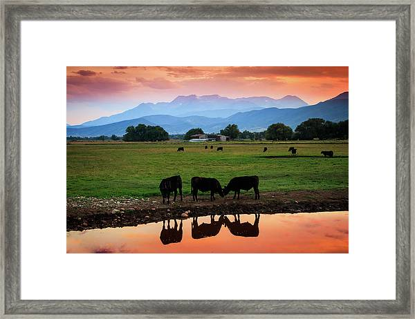 Bovine Sunset Framed Print by Johnny Adolphson