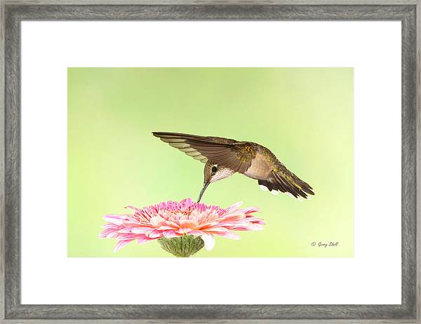 Bowing To The Nectar Gods Framed Print