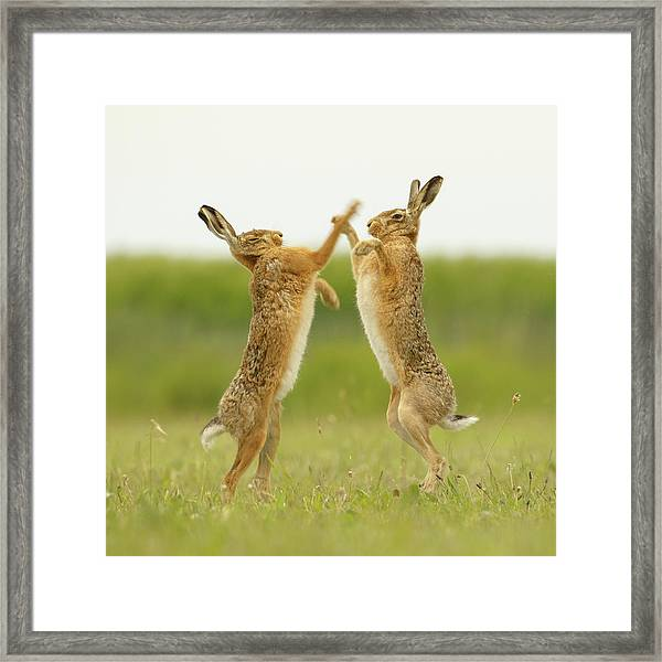 Boxing Hares Square Framed Print