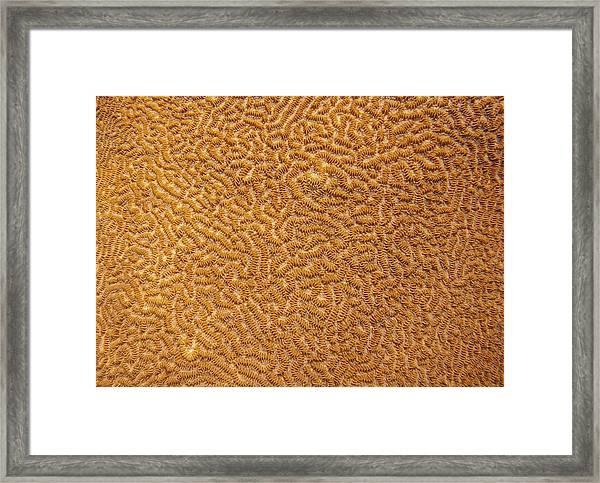 Brain Coral 47 Framed Print