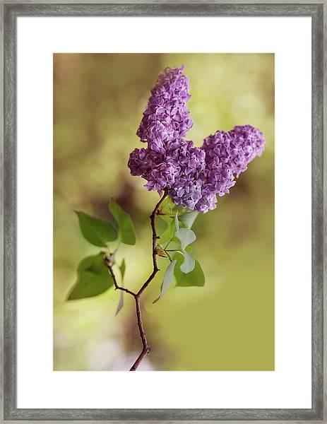 Branch Of Fresh Violet Lilac Framed Print