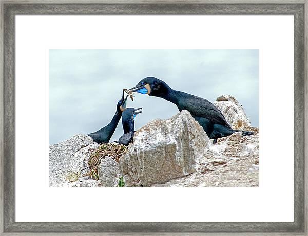 Brandt's Cormorant Feeding Family Framed Print