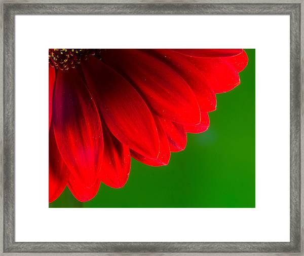 Bright Red Chrysanthemum Flower Petals And Stamen Framed Print