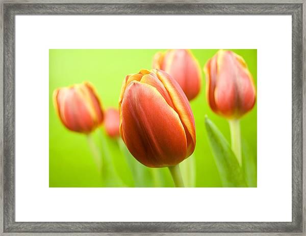 Bright Tulips Framed Print