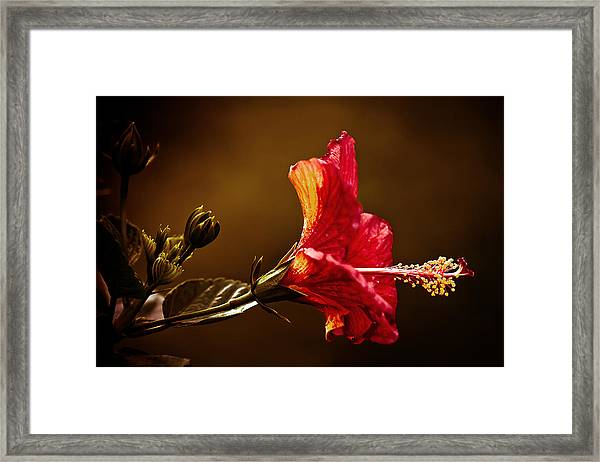 Brilliant Hibiscus Framed Print