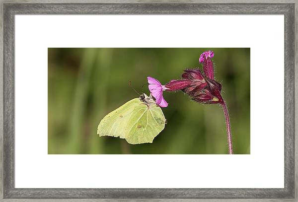 Brimstone Butterfly Framed Print