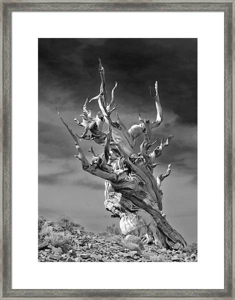 Bristlecone Pine - A Survival Expert Framed Print