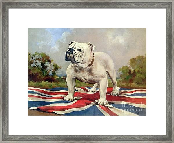 British Bulldog Framed Print