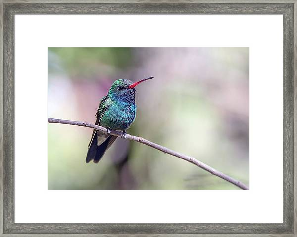 Broad-billed Hummingbird 2008-031718-1cr Framed Print