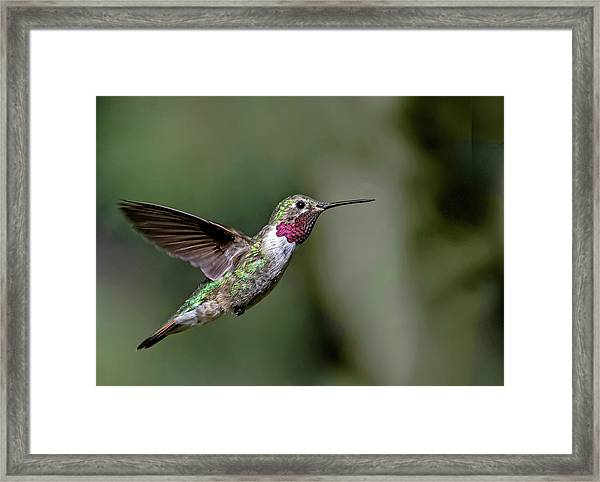 Broad-tailed Hummingbird Male Framed Print