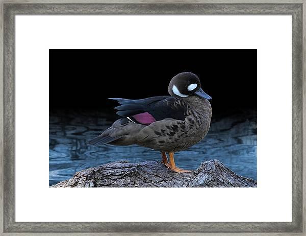 Bronze-winged Duck Framed Print