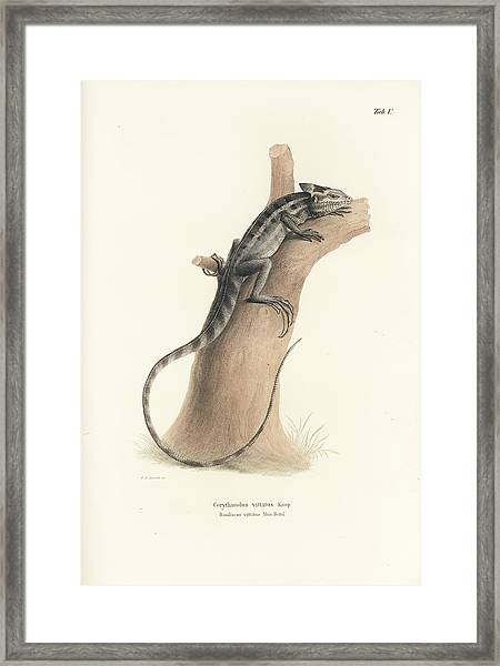 Framed Print featuring the drawing Brown Basilisk, Basiliscus Vittatus by Friedrich August Schmidt