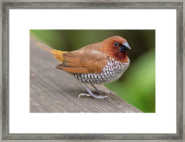 Brown Bird Framed Print