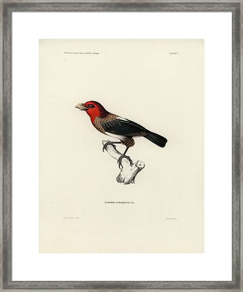 Framed Print featuring the drawing Brown-breasted Barbet, Pogonornis Melanopterus by Breck Bartholomew