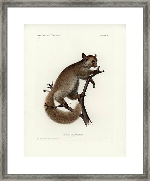 Framed Print featuring the drawing Brown Greater Galago Or Thick-tailed Bushbaby by Hugo Troschel and J D L Franz Wagner