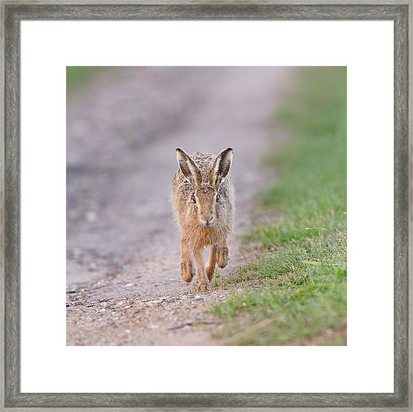 Brown Hare Approaching Down Track Framed Print