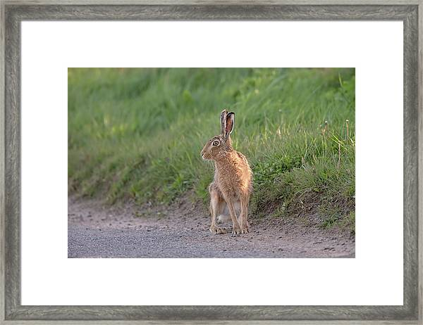 Brown Hare Listening Framed Print