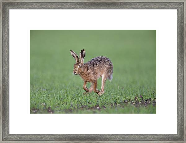 Brown Hare Running Framed Print