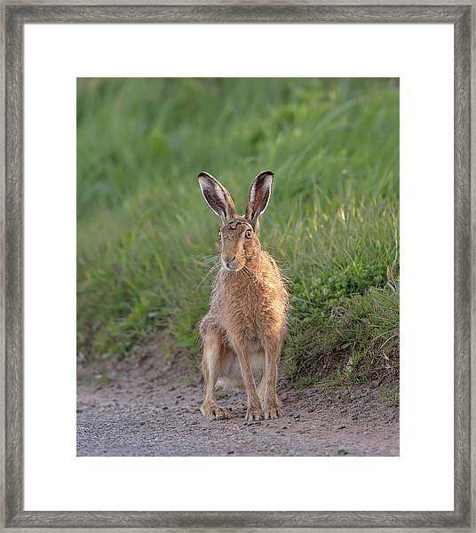Brown Hare Sat On Track At Dawn Framed Print