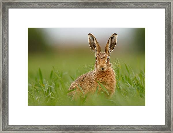 Brown Hare Stare Framed Print
