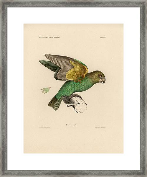 Framed Print featuring the drawing Brown-headed Parrot, Piocephalus Cryptoxanthus by J D L Franz Wagner