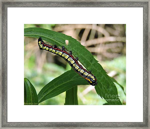 Brown Hooded Owlet Moth Larva  Framed Print