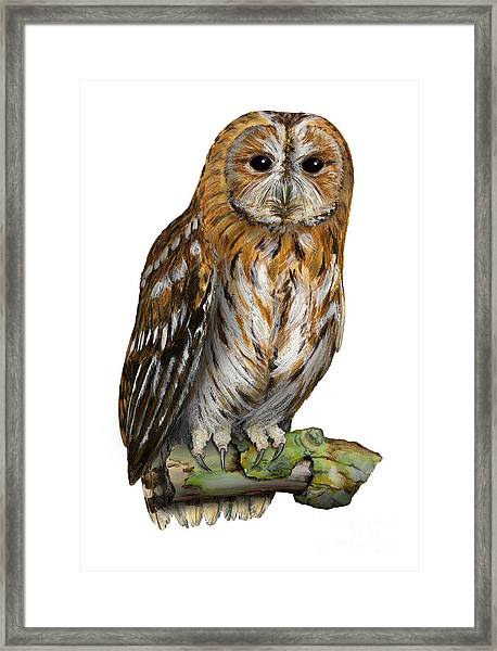 Brown Owl Or Eurasian Tawny Owl  Strix Aluco - Chouette Hulotte - Carabo Comun -  Nationalpark Eifel Framed Print