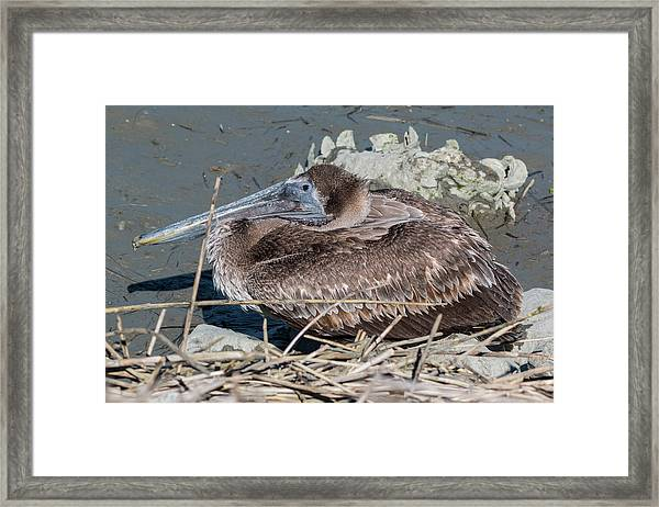 Framed Print featuring the photograph Brown Pelican 3 March 2018 by D K Wall