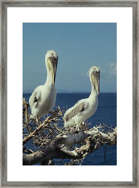 Brown Pelican Chicks In Nest  Framed Print