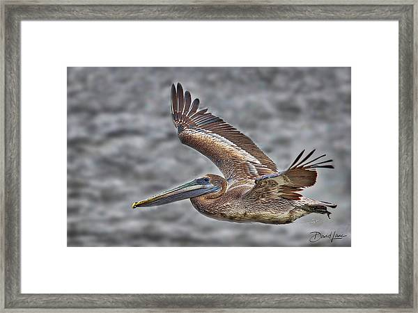 Framed Print featuring the photograph Brown Pelican Flying by David A Lane