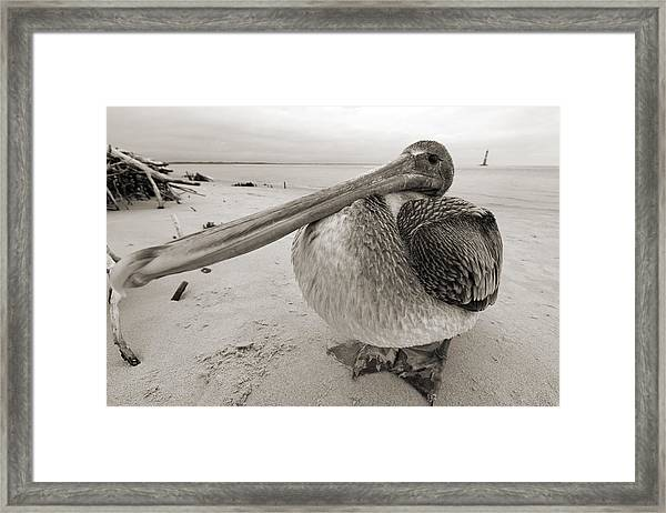 Brown Pelican Folly Beach Morris Island Lighthouse Close Up Framed Print