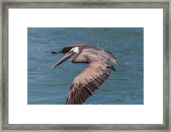 Brown Pelican In Flight Framed Print