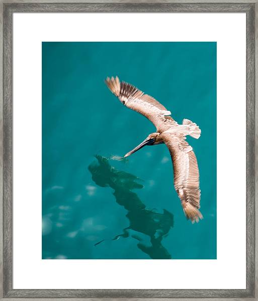 Brown Pelican Offshore Framed Print by Bill Perry