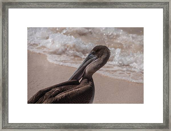 Brown Pelican On Las Bachas Beach Santa Cruz Indefatigable Island  Galapagos Islands Framed Print