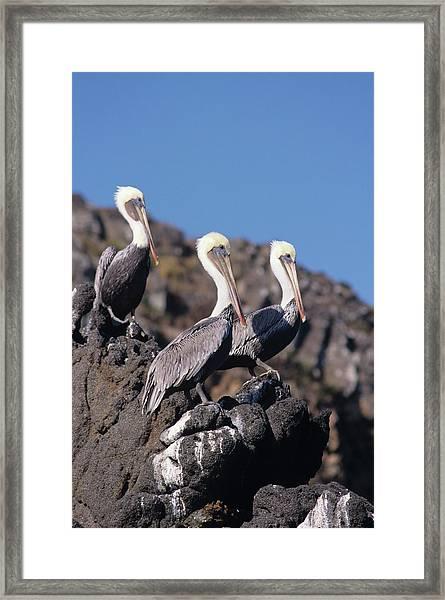 Brown Pelican Trio  Framed Print